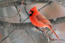 Northern Cardinal by Garrett Gormley